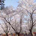 大宮公園の屋台と桜