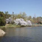 大宮公園の桜と池