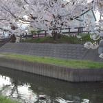元荒川の桜と一羽の鴨